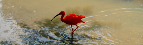 A Scarlet Ibis at the KL Zoo in Malaysia