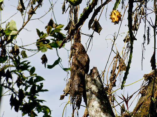 urutau tagschläfer common potoo mindo ecuador jardín ecobotánico eco botanico