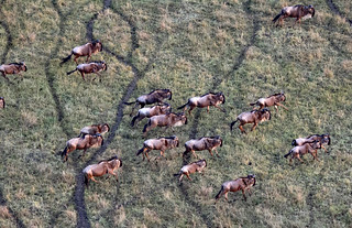 wildebeests from a hot air balloon