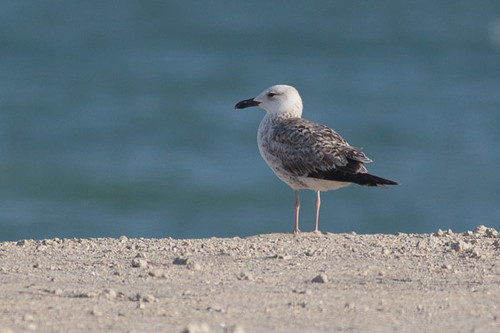 Yellow-legged Gull - first winter