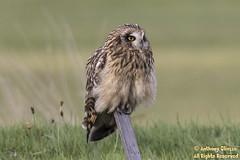 Short-eared Owl (4169)