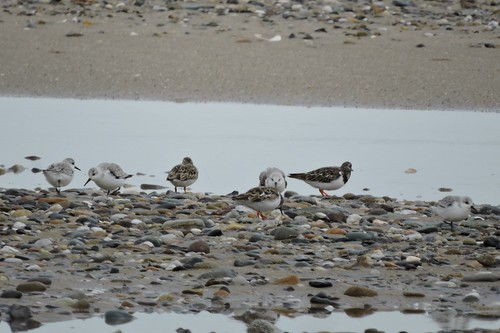 Ruddy Turnstone #83