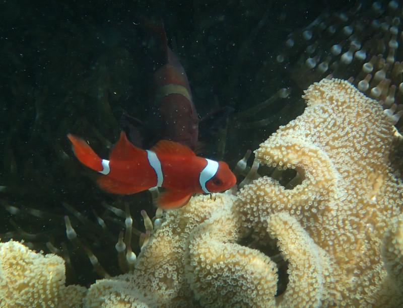 2017-11-09 10.20.47_Maroon clownfish_Мавританский идол