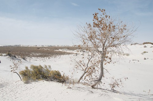 White Sands Tree and Bush