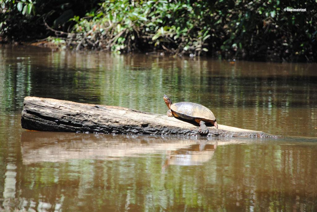 Kilpikonna viidakossa, Tortugueron kansallispuisto, Costa Rica