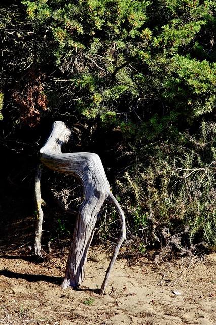 Juniperus turbinata Guss. - CUPRESSACEAE - Dunas de Artola - Marbella (Málaga) (3)