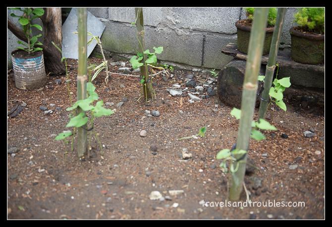 Snijbonen, boterbonen en pompoen in de groei