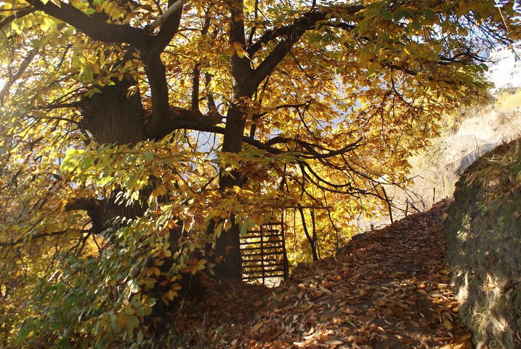 Chataignier à l'automne au pied du village de Capileira dans la Sierra Nevada.