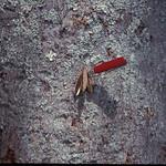 Flindersia brayleyana bark and seedpod