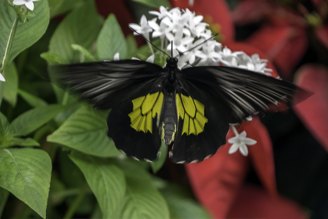 Birdwing Butterfly in Motion