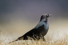 Brewer's Blackbird in Valles Caldera National Preserve