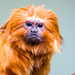 Fresno Chaffee Zoo - Golden Golden lion tamarin