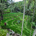 Rice Fields in Bali by sheiladeeisme