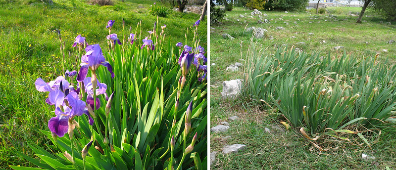 Spring and autumn of an Iris bush