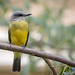 Couch's or Tropical Kingbird