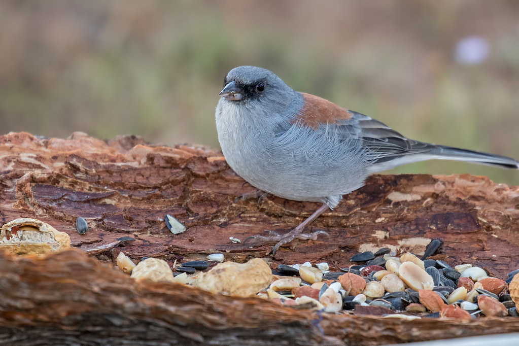 Dark-eyed-Junco(Red-Back)-1-7D2-091217