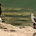 Cousins - Little Black Cormorant, Phalacrocorax sulcirostris & Little Pied Cormorant, Microcarbo melanoleucos