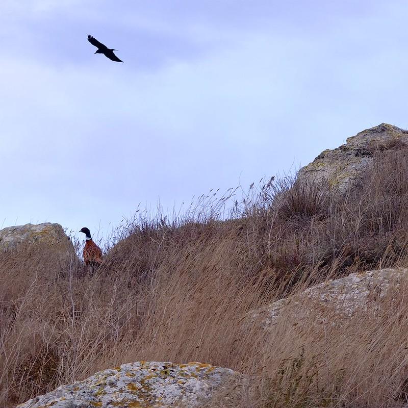 Керчь, фазаны - 2