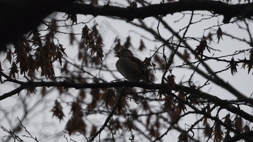 Hawfinch (Coccothraustes coccothraustes)  VIDEO CLIP