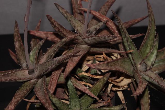 Aloe fragilis 38648686426_a24b622b8b_z