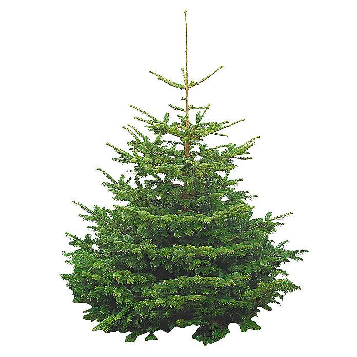 Gutschein Weihnachtsbaum.Es Gibt Einen Neuen Gutschein Nordmanntanne Abies Nordman Flickr