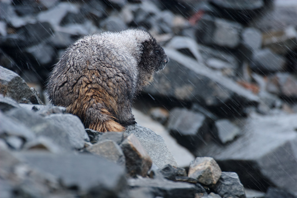 A cold and heavy rain whips down the hillside as a hoary marmot looks out from the talus field it calls home along the Sourdough Ridge Trail in Mount Rainier National Park