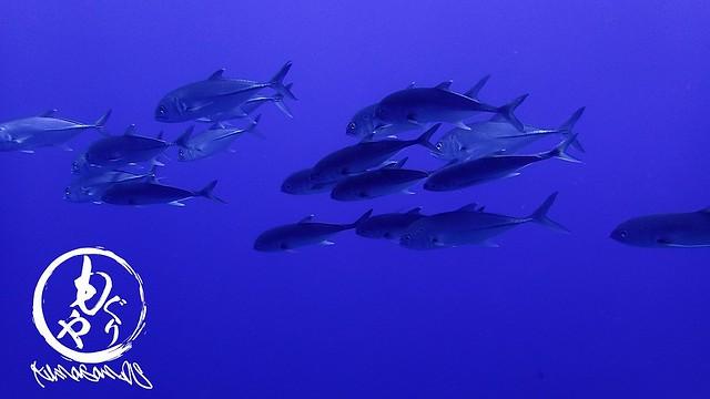 ダイバーを怖がらないギンガメアジの群れ