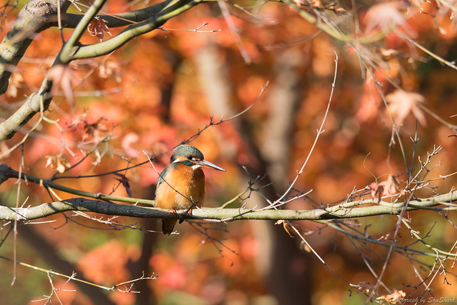 20171210-kingfisher-DSC_0630