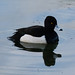 Watchful tufted duck, West Park