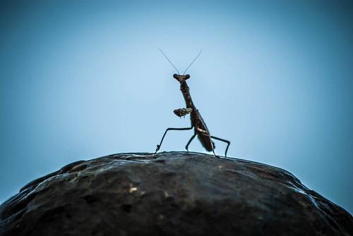 Mantis on Sculpture