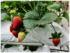 Fruits of Fragaria x ananassa (Strawberry, Garden Strawberry, Cultivated Strawberry) seen in Cameron Highlands, 1 March 2016