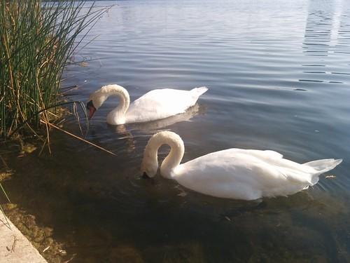 Two swans (2) #toronto #highpark #grenadierpond #birds #swans #white #latergram