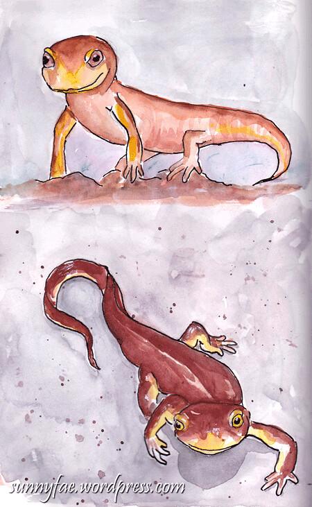 two californian newt sketch