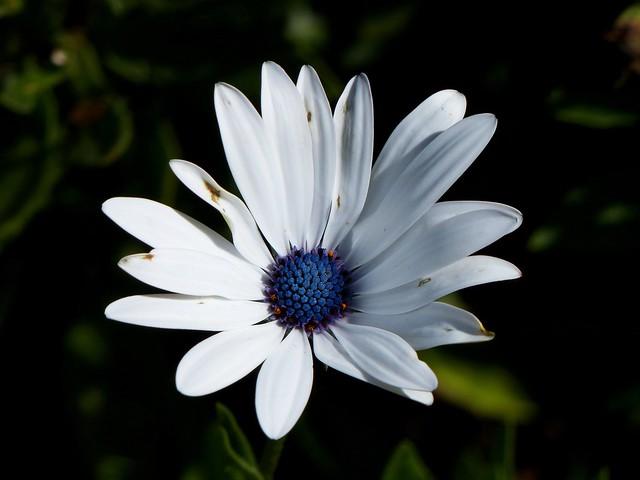 Daisy flower - Nilgirs