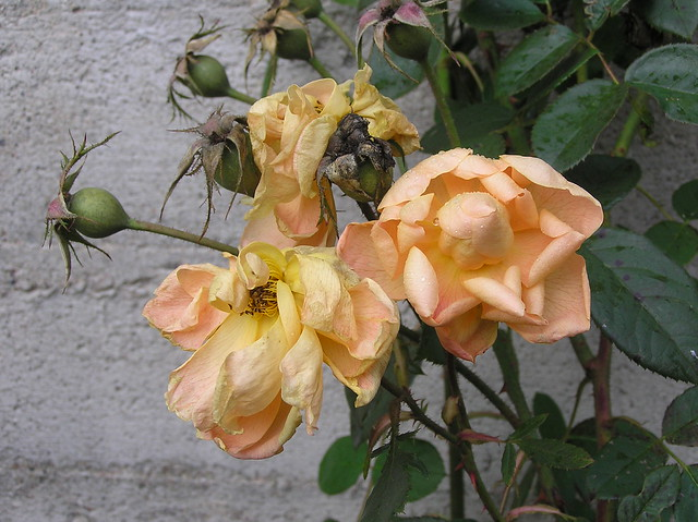 Rosa 'The Lark Ascending'