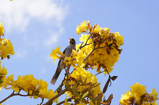 Tabebuia aurea with bird