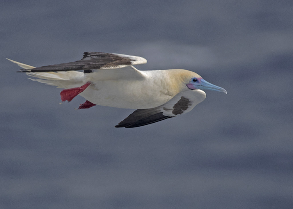 Red-footed Booby.  Sula Sula. South China Sea