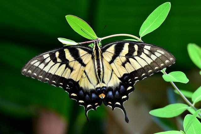 Tiger Swallowtail DSC_2947