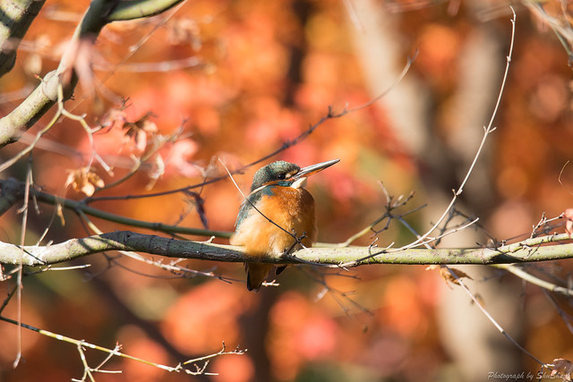 20171210-kingfisher-DSC_0635