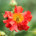 Geum red flower - Mrs Bradshaw