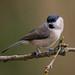 Marsh Tit. Calke Abbey Park, Derbyshire. DSC_7383.jpg
