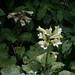 Cardiocrinum cordatum var. glehnii by kenta_sawada6469