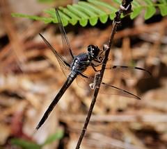 Bar-winged Skimmer, immature male. Libellula axilena