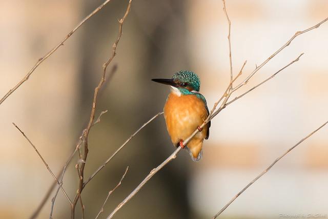 20171124-kingfisher-DSC_8519