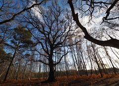 HolderWisley Common Oak tree