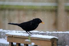 HolderBlackbird