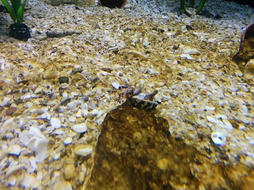 Cuttlefish (1) #toronto #ripleysaquarium #aquarium #cuttlefish #cephalopod #camouflage #latergram