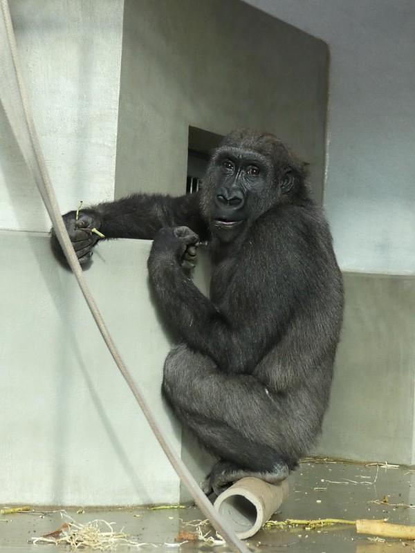 Gorilla Milele, Wilhelma