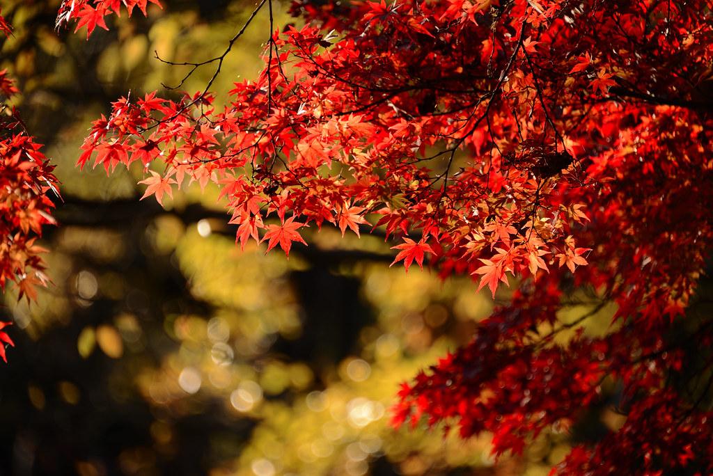 Shakujii park in Autumn. 石神井公園の紅葉