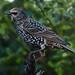 Starling in the Back Garden F00043 D210bob DSC_8421